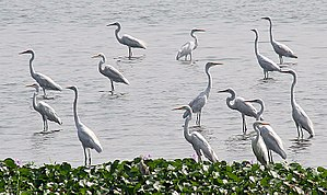 Eastern great egret - Image: Great Egrets I3 Kolkata IMG 1132