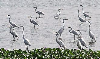 Eastern great egret - Image: Great Egrets I3 Kolkata IMG 1132