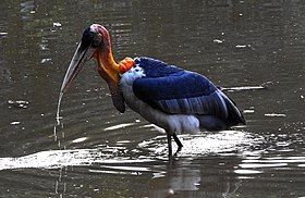 Greater Adjutant Leptoptilos dubius by Dr. Raju Kasambe (1).JPG