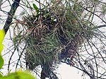 Greater Coucal- Nest I IMG 4396.jpg