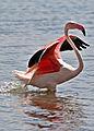 Greater Flamingo, Phoenicopterus roseus at Marievale Nature Reserve, Gauteng, South Afr (23402374845).jpg