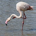 Greater Flamingo (19155796238).jpg