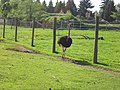 Greater Vancouver Zoo, Ostrich - panoramio.jpg
