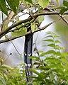 Green-billed Malkoha (Phaenicophaeus tristis) - 2.jpg