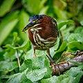 Green Heron (27012320469).jpg