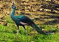 Green Peafowl Pavo muticus Manipur by Raju Kasambe..jpg