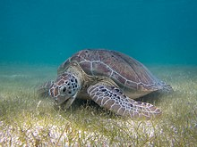 Green sea turtle grazing on sea grass