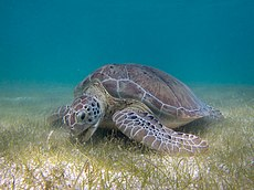 Green Sea Turtle grazing seagrass.jpg