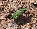 Green Tiger Beetle (Cicindela campestris) - geograph.org.uk - 1297079.jpg