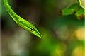 Green Vine snake-Wynaad.jpg