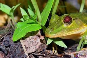Common green frog - green frog starring at camera