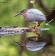 Green heron in PP (14296).jpg