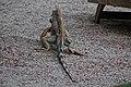 Green iguana near the restaurant (24025048063).jpg