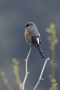 Grey-headed Bullfinch - Eaglenest - India FJ0A1250 (34154771831).jpg