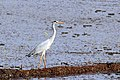 Grey Heron (23298955484).jpg