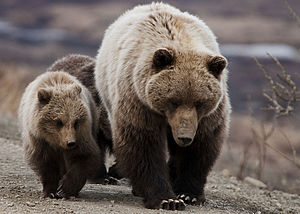 Grizzly Bear- Sow and cubs (5728173840).jpg