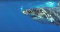Guadalupe Island Great White Shark.png