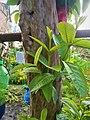 Guava Tree 161111.jpg
