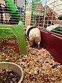 Guinea Pig 5 2013-09-06.jpg