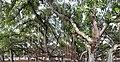 HI Maui Lahaina Banyan Tree Park3.jpg