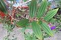 HK 上環 Sheung Wan 水坑口街 Possession Street Footbridge green plants 野牡丹 Melastoma septemnervium Sept 2017 IX1 03.jpg