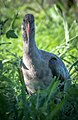 Hadeda ibis (Bostrychia hagedash).jpg