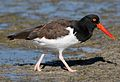 Haematopus palliatus -Honeymoon Island State Park, Florida, USA-8.jpg