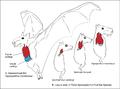 HammerheadBatLarynx Hypsignathus.png