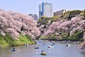Hanami in Chidorigafuchi (45966829765).jpg