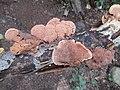 Hapalopilus rutilans 1082769.jpg