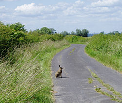 Hare in Country Lane.jpg