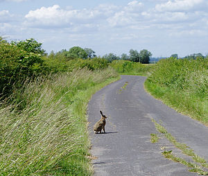 A wild Jackrabbit (Hare) on an English country...