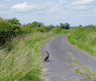 Country lane - Image: Hare in Country Lane