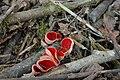 Harilik karikseen (Sarcoscyphaceae austriaca).JPG