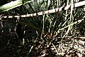Heart of Flame Bromeliad (Bromelia balansae) (28496476476).jpg