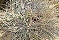 Hechtia texensis 0zz.jpg