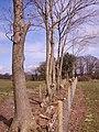 Hedge improvement - geograph.org.uk - 738919.jpg