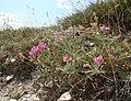 Hedysarum tauricum 30970410.jpg