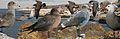 Heermann's From The Crossley ID Guide Eastern Birds.jpg