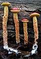 Heimioporus betula 267067.jpg