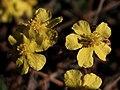 Helianthemum cinereum (7119987333).jpg