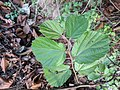 Helicteres isora 143.jpg