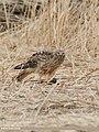 Hen Harrier (Circus cyaneus) (49341098988).jpg
