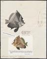 Heniochus varius - 1700-1880 - Print - Iconographia Zoologica - Special Collections University of Amsterdam - UBA01 IZ13100209.tif