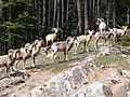 Herd of Bighorn Rams, Lake Minnewanka (204078673).jpg
