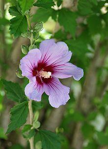 Hibiscus Syriacus Wikipedia