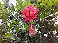 Hibiscus in Kerala.jpg
