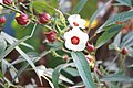 Hibiscus sabdariffa പുളി വെണ്ട പൂവും കായും.JPG