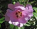 Hibiscus sp. (rose mallow) (Newark, Ohio, USA) 3 (28435225297).jpg