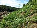 Hibiscus trionum sl30.jpg